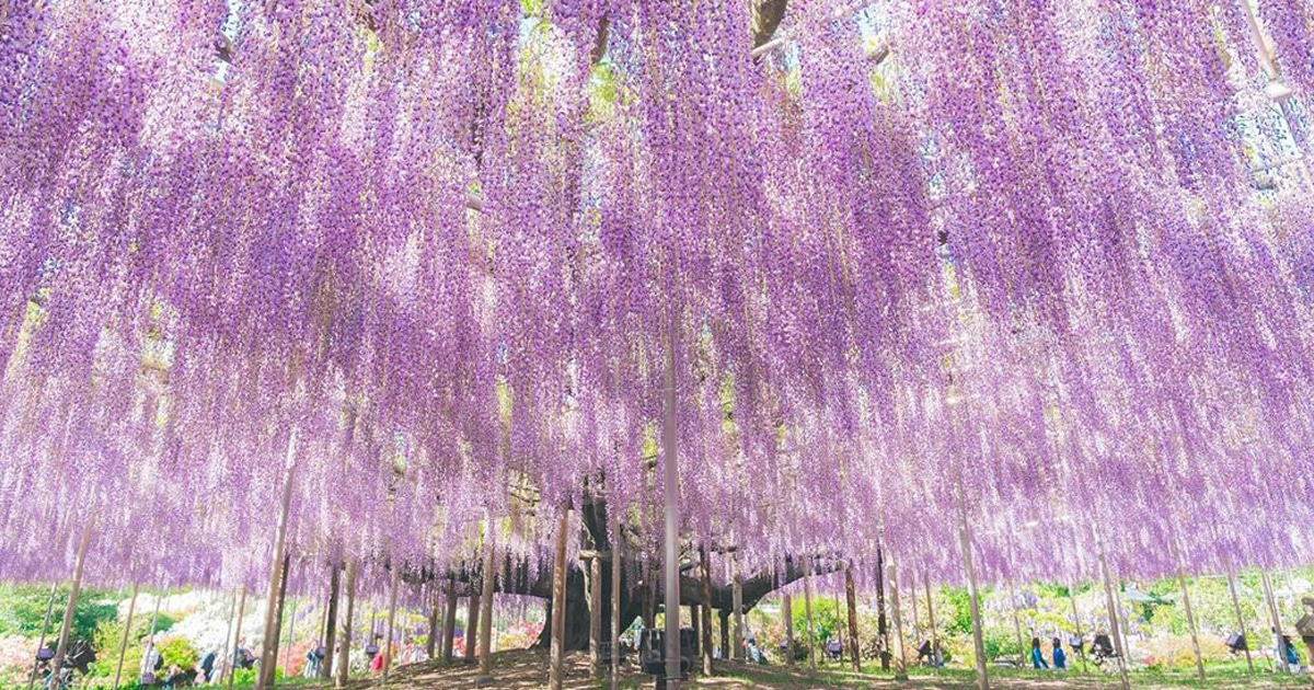 Old Wisteria Tree In Japan Is The Most Beautiful In The World