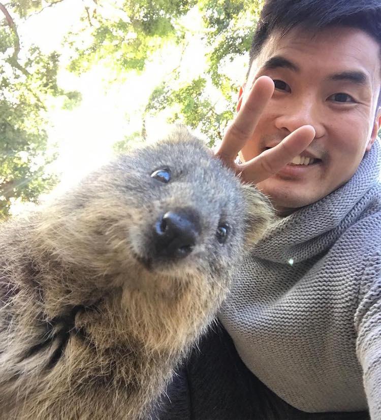 Quokka Selfie Quokkas