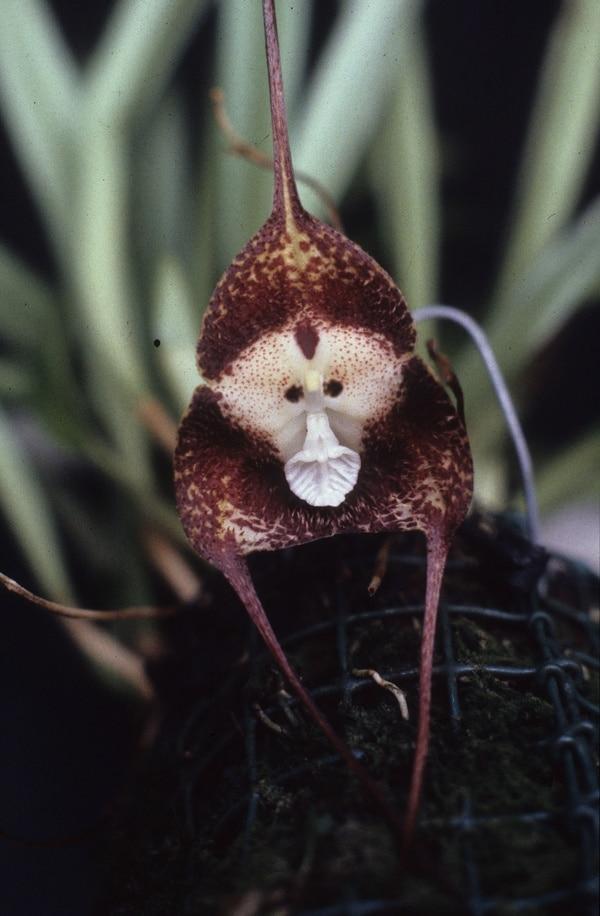 Orquidea cara de mono - Dracula Simia
