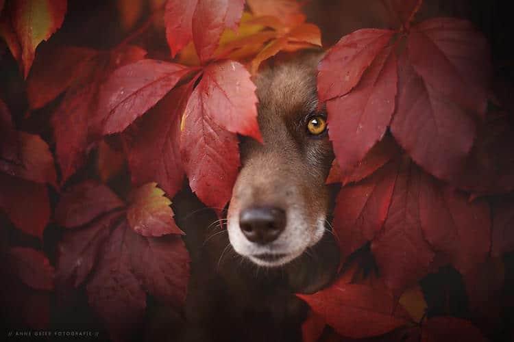 Dog Muse Anne Geier Dog Portrait