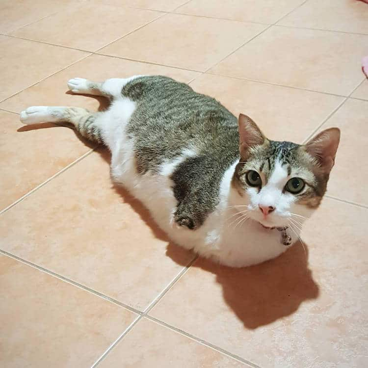 able mauw two-legged rescue cat