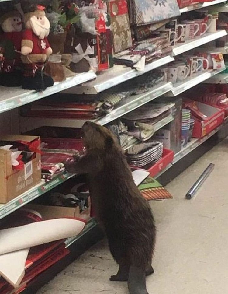 beaver-dollar-store-christmas-tree-shopping-1