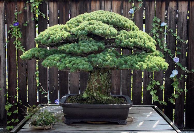 hiroshima bonsai tree national arboretum