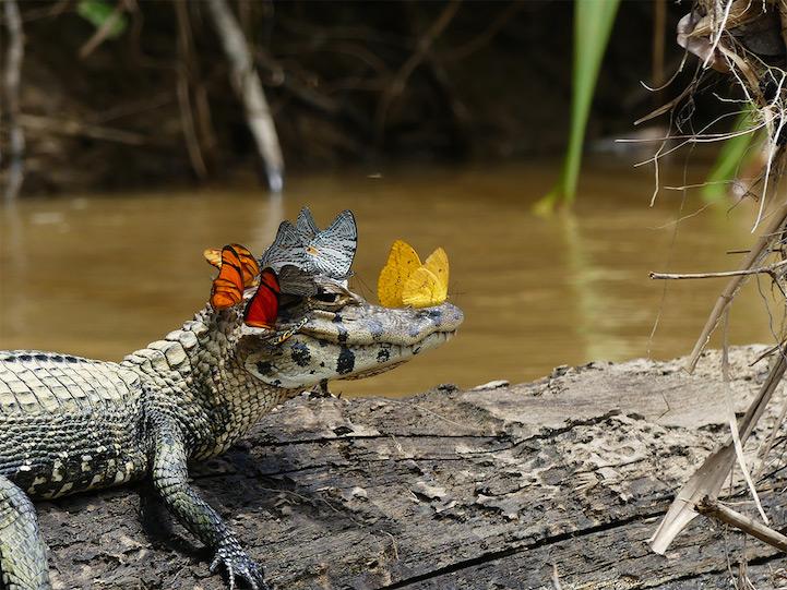 best photos mark cowan caimain butterflies