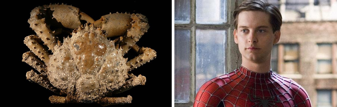 Maguimithrax spinosissimus Tobey Maguire Crab