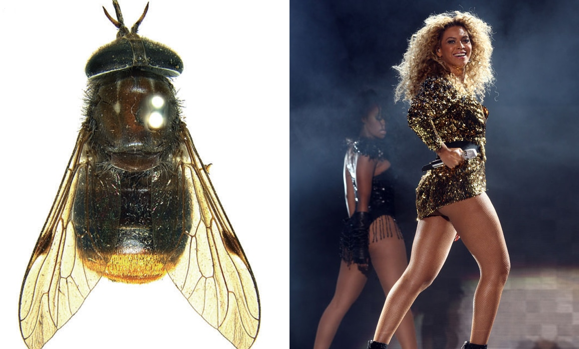 scaptia beyonceae beyonce horse fly