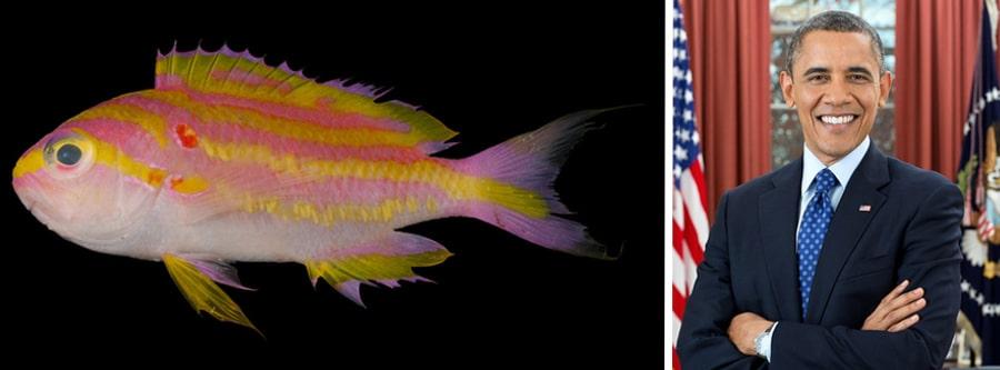 Tosanoides obama new fish Hawaiian fish named for obama