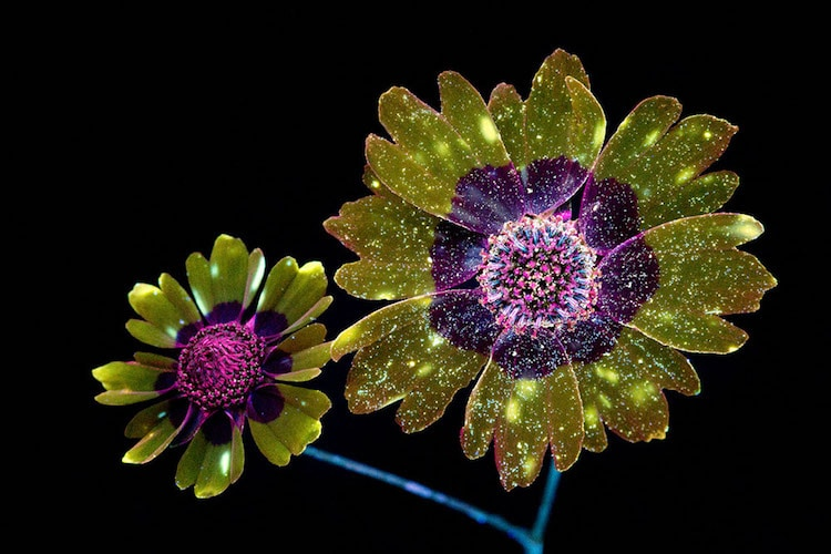 craig burrows fluorsecent flowers UVIVF ultraviolet-induced visible fluorescence