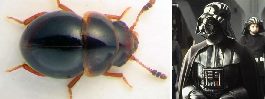 darth vader beetle Agathidium vaderi new beetle species