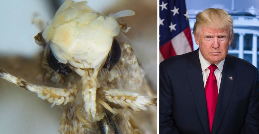 donald trump moth presidential named moth new species Neopalpa donaldtrumpi
