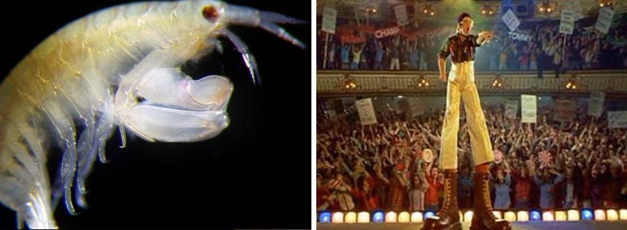 leucothoid amphipod elton john crustacean