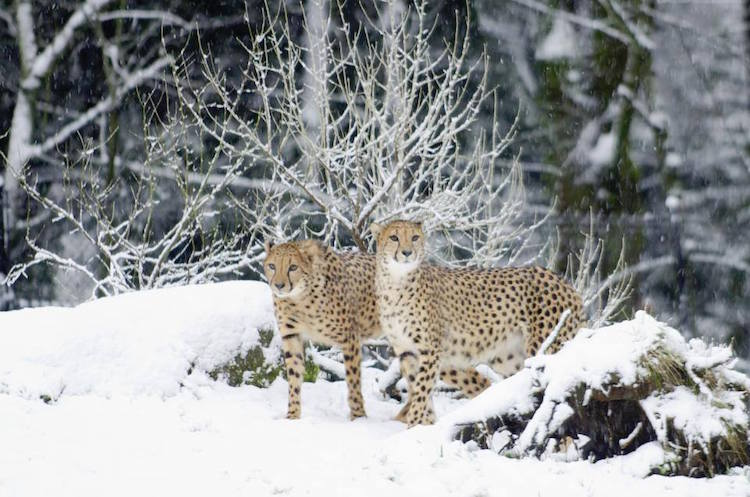 animals playing in the snow oregon zoo winter animals cute