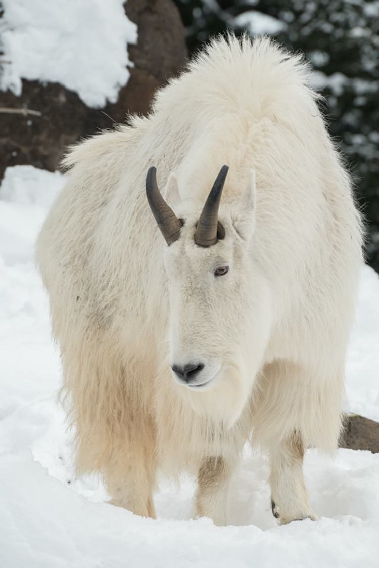 snow animals zoo oregon mountain cute winter playing goat rocky cold play adorable frolic enjoys calmly