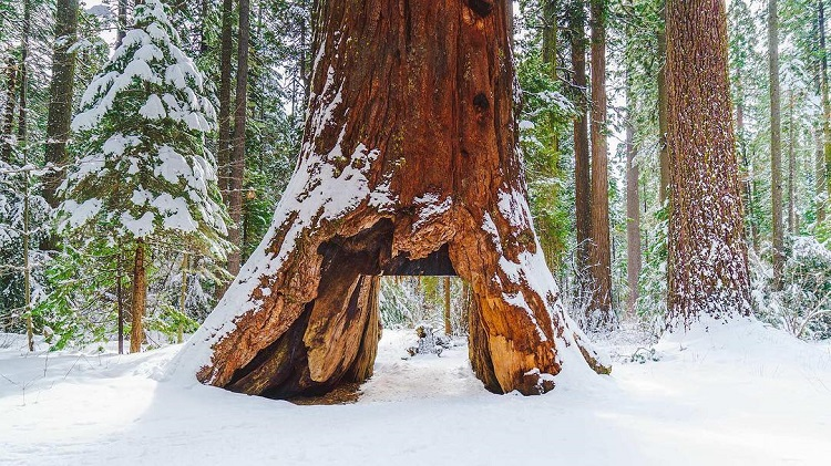 Internet Pays Tribute to the Pioneer Cabin Tree