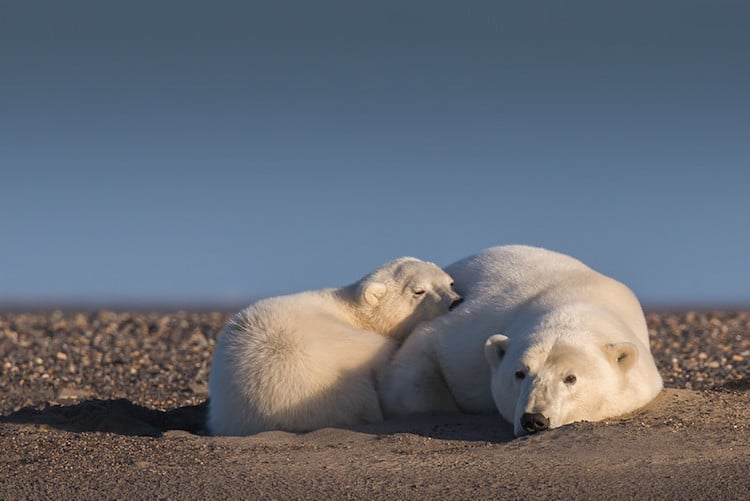alaska patty waymire climate change polar bears