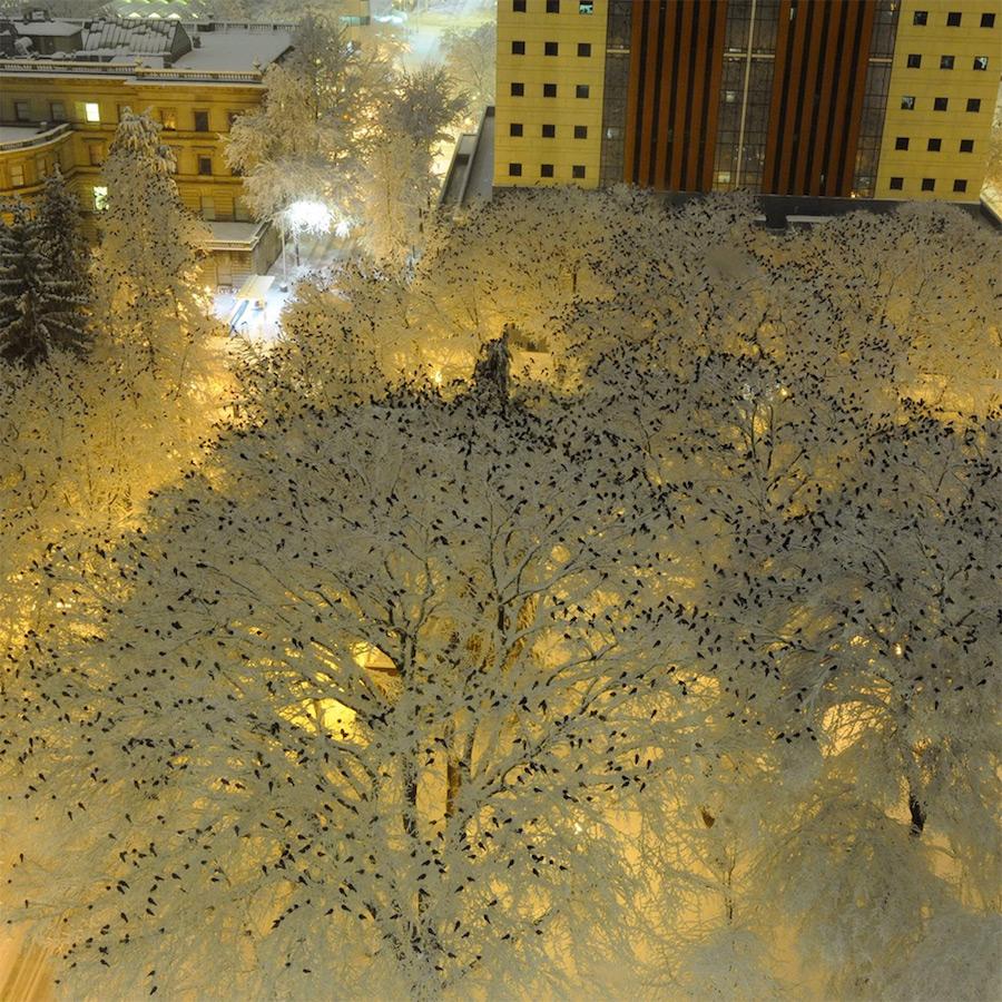 crows on snow walker berg portland police birds in snow starlings