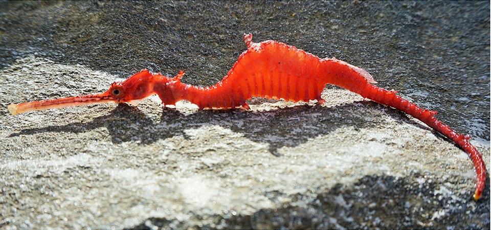 ruby seahorse on the beach