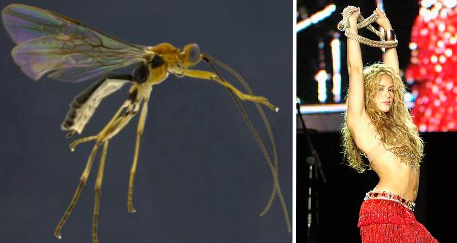 Aleiodes shakirae. (Image via Dr. Eduardo Shimbori and Dr. Scott Shaw) / Shakira. (Image via Wikipedia)