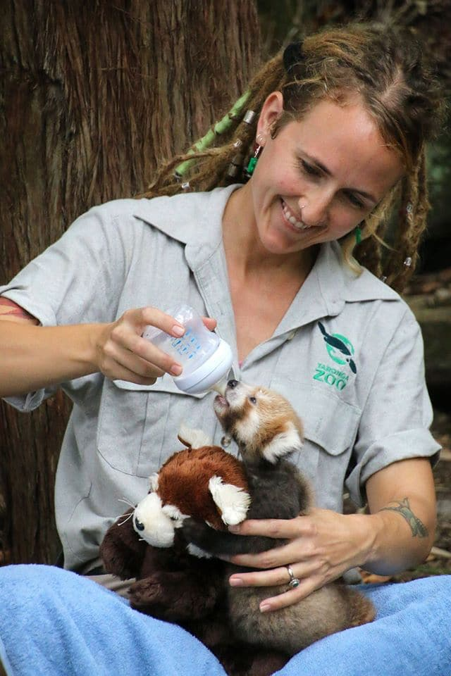 red panda cub taronga zoo stuffed animal toy