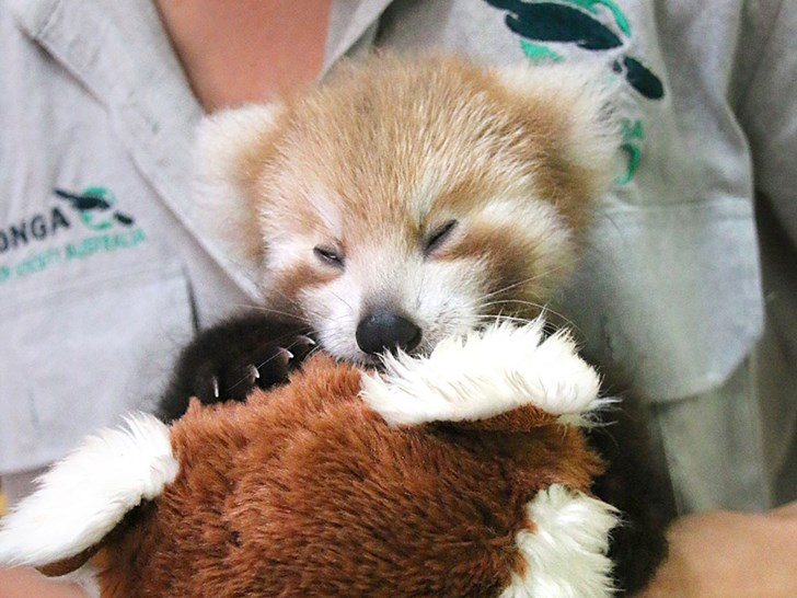 Red Panda Cub Is Adorably Attached To Comforting Look Alike Toy