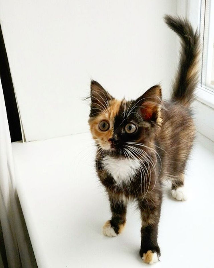 yana two-faced cat chimeric