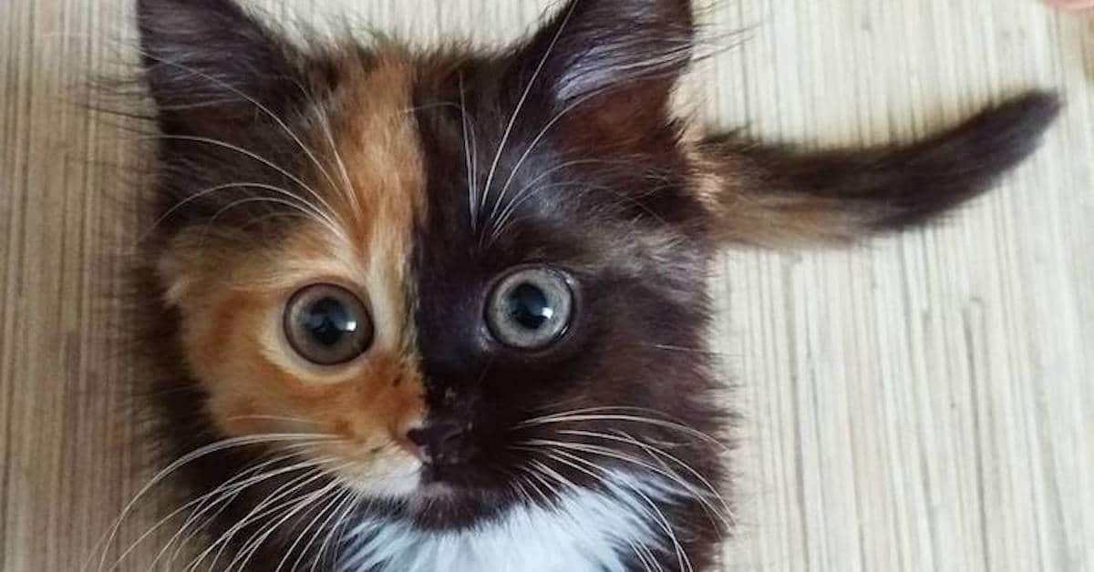 Two Faced Cat Is A Dead Ringer For Batman S Two Face