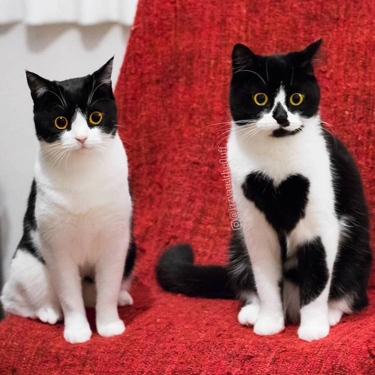cute cat wears her heart on her chest