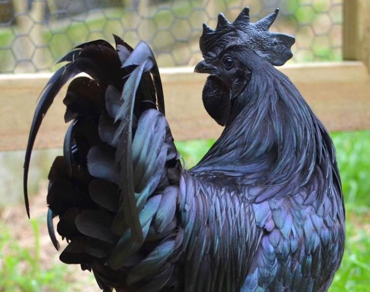 Unusual Black Chicken is Black from Its Feathers to Its Bones