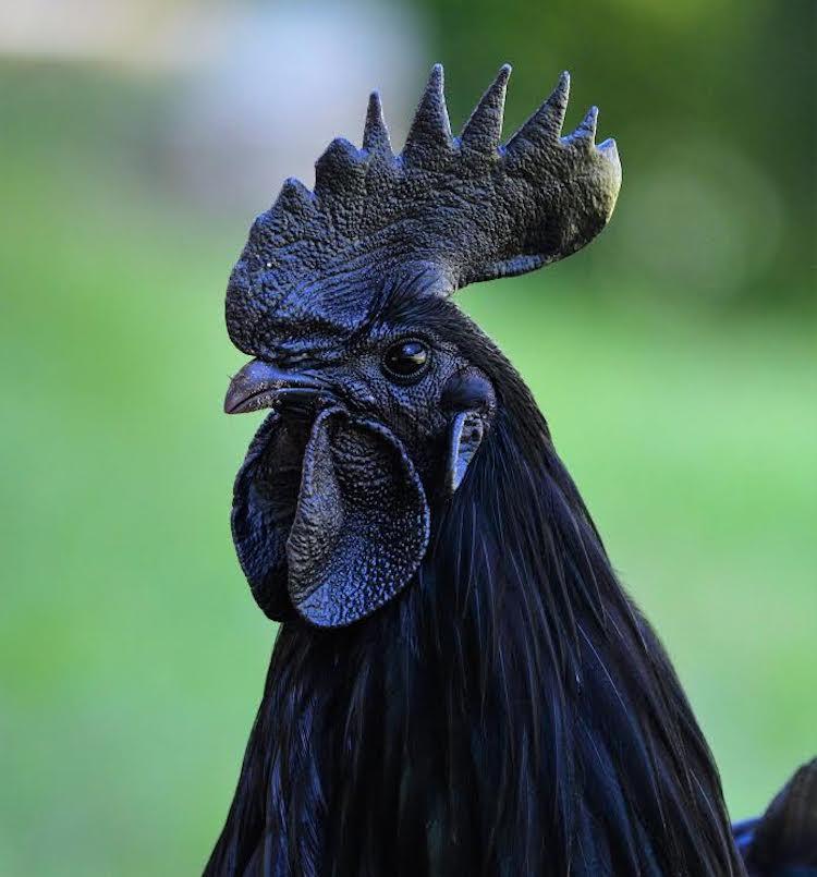 čierna sliepka