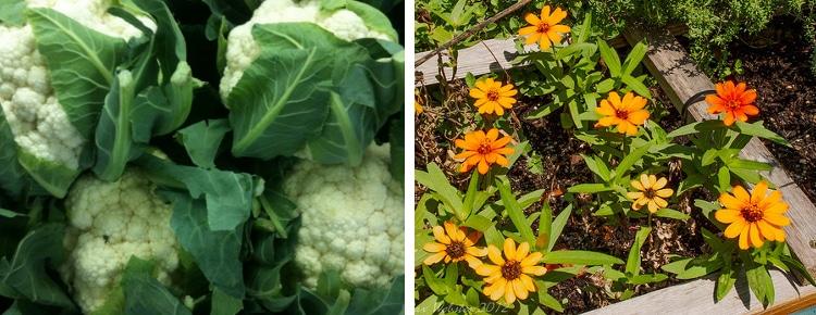 cauliflower dwarf zinnias companion plants