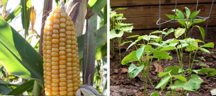 corn beans companion plants