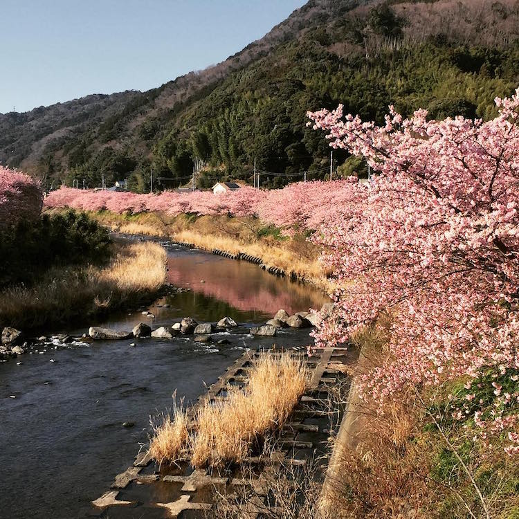 kawazu early cherry blossoms japan spring