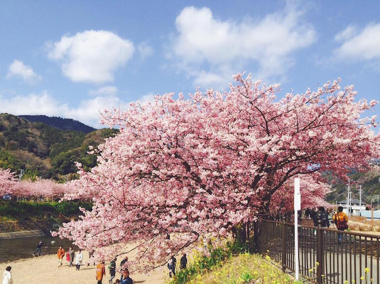 kawazu early cherry blossoms japan spring