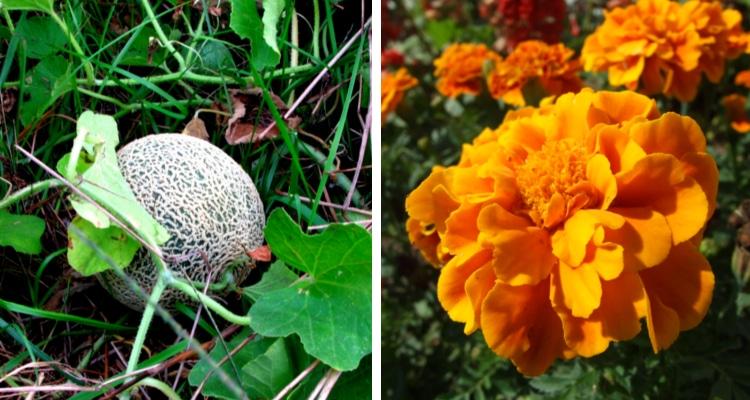 melon marigolds companion plants