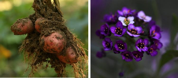 potatoes sweet alyssum companion plants