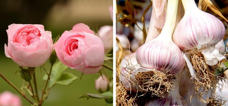 rose garlic companion plants