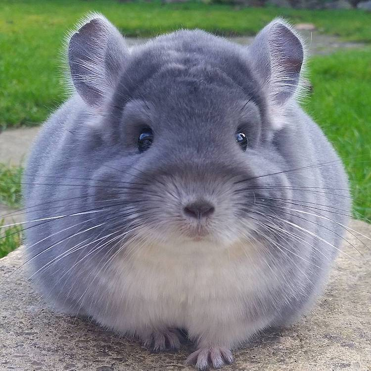 chinchillas pets