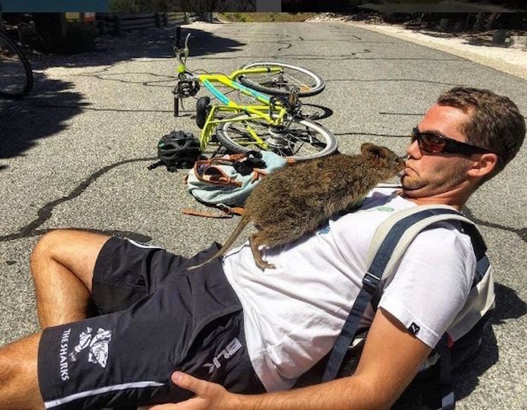 quokka selfie man and quokka campbell jones gopro animals cute australia