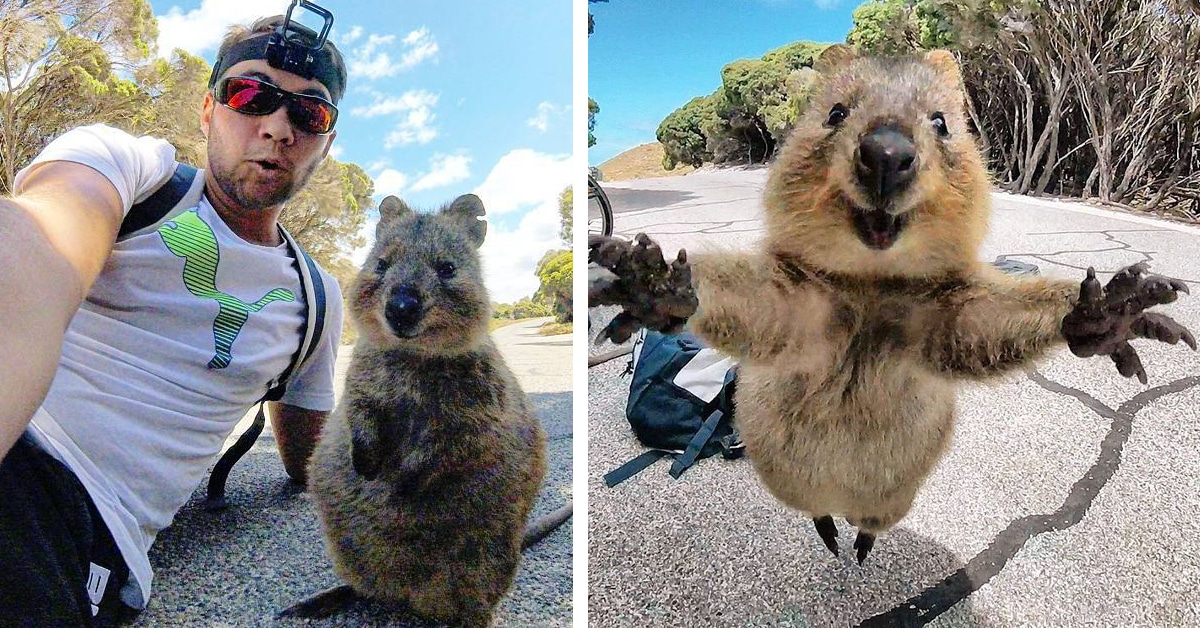Man and Quokka Selfie Leads Adorable Animal to Follow ...