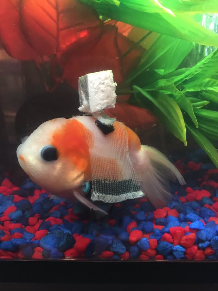 Goldfish Wheelchair inspiring stories pets animals