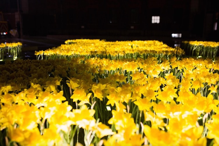 garden of light daffodil installation art marie curie greyworld great daffodil appeal