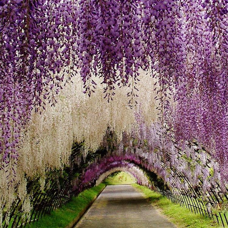 wisteria tree tunnel