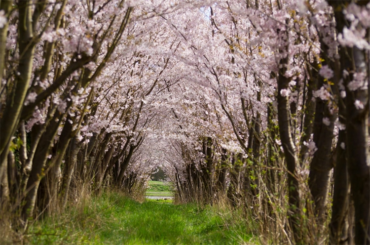 cherry blossom flower tunnel photo