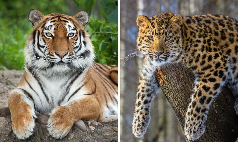 Amur Leopard siberian tiger china national park