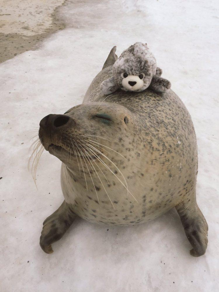 adorable foca sin orejas con peluche
