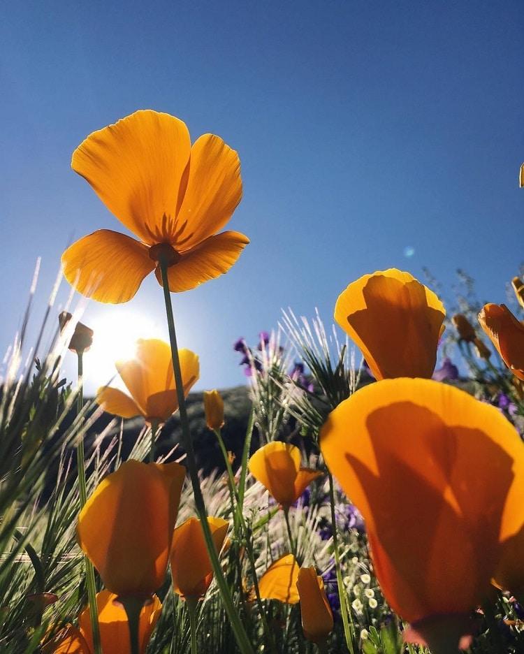 southern california desert wildflowers super bloom