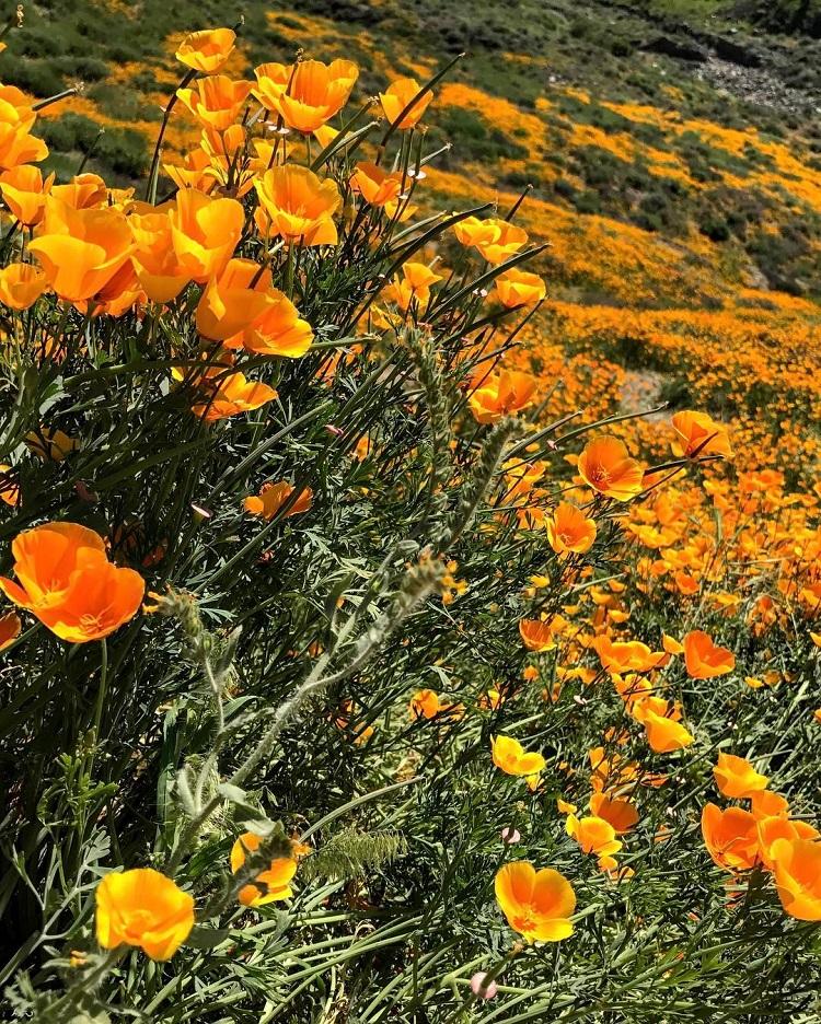 orange poppies california