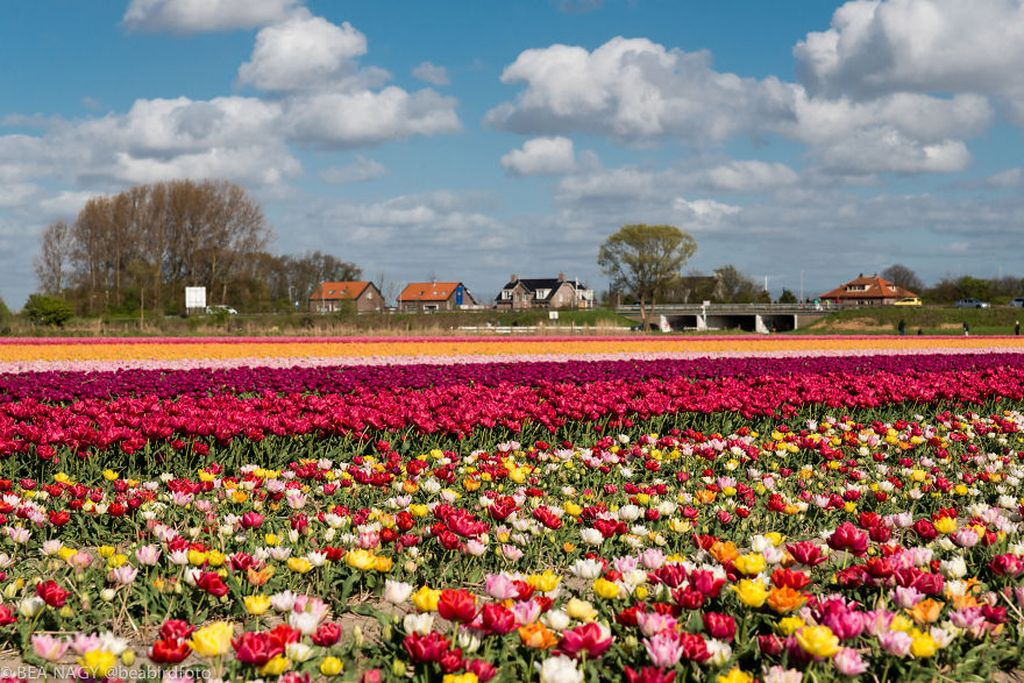 Photos of Tulip Fields by Bea Nagy