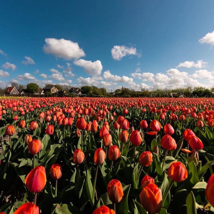 photos of tulip fields dutch tulips dutch tulip fields bea nagy beabird foto nature photography spring