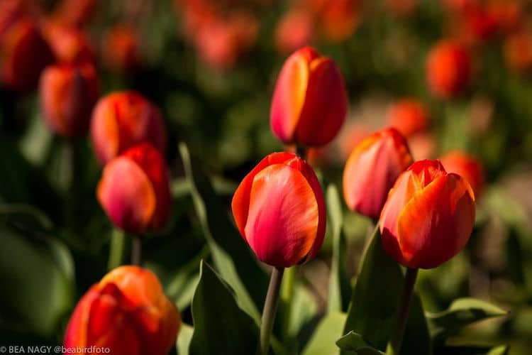 photos of tulip fields dutch tulips dutch tulip fields bea nagy beabird foto nature photography spring